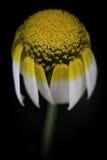 De droevige bloem Stock Foto
