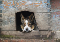 de droevige hond kijkt uit van zijn huis royalty-vrije stock fotografie