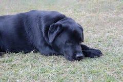 De droevige hond van Labrador in het liggen in droefheidsstemming stock afbeeldingen