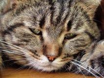 De droevige kat van de makreelgestreepte kat Royalty-vrije Stock Afbeelding