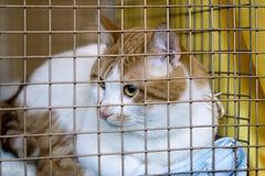 De droevige kattenrassen couperen in een kooi Stock Foto's
