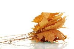 De droge bladeren van de esdoornherfst Stock Fotografie