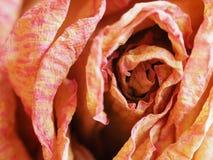De droge bloem van nam toe Royalty-vrije Stock Foto's
