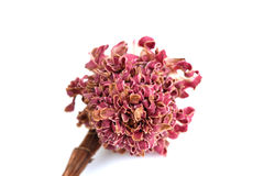 De droge bloemen van de Toortsgember Stock Afbeeldingen