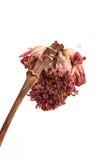 De droge bloemen van de Toortsgember Royalty-vrije Stock Foto