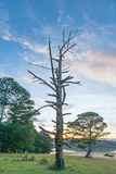 De droge boom was matrijs binnen aan het bos bij dageraad royalty-vrije stock foto's