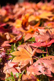 De droge daling van esdoornbladeren neer royalty-vrije stock afbeeldingen