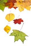 De droge esdoorn van de berkesp en vele de herfstbladeren Stock Afbeeldingen