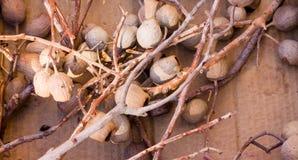 De droge eucalyptuspeulen bloeit shelfs Royalty-vrije Stock Afbeeldingen