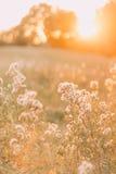 De droge grasbloem met zonlicht, sluit omhoog Mooie de zomerdag op het gebied royalty-vrije stock afbeelding