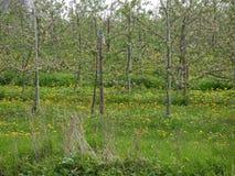 De droge grassen en het onkruid in de voorgrond, appelbomen bloeien, gebonden aan polen, in weide met bloeiende paardebloem, deta stock afbeeldingen