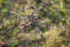 De droge klisbloemen in de recente herfst sluiten omhoog foto royalty-vrije stock afbeeldingen