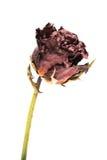 De droge knop van een rood nam toe Geïsoleerdj op witte achtergrond Royalty-vrije Stock Foto's