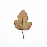 De droge multi-colored herfst verlaat patroon witte achtergrond Stock Fotografie