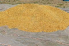 De droge rijst wordt voorbereid Stock Fotografie