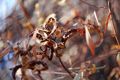 De droge Zaden van de Acacia Stock Afbeeldingen