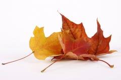 De drogende bladeren van de Esdoorn Royalty-vrije Stock Afbeelding