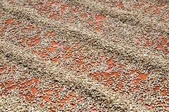 De drogende Bonen van de Koffie Stock Foto