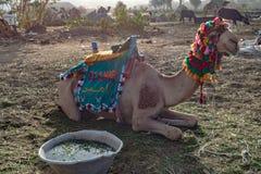 De Dromedaris met toebehoren kijkt in Aswan Egypte stock afbeelding