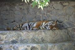 De droom van een vleesetend gestreept tijgerdier op een rotsachtig uitje bij de dierentuin stock foto