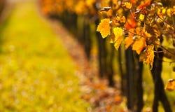 De druif doorbladert in daling Stock Foto's