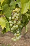 De druif groeit binnen aan zoete fruit thuis wijngaard Royalty-vrije Stock Foto's