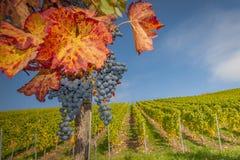 De druif-herfst kleuren Royalty-vrije Stock Foto