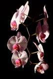 De druif van de orchidee stock foto's