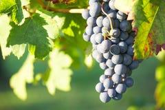 De druif van de rode Wijn stock foto's
