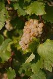 De druif van de wijn Royalty-vrije Stock Foto