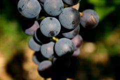 De druif van de wijn Stock Fotografie