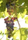 De Druif van de wijngaard Royalty-vrije Stock Foto's