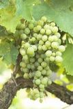 De Druif van de wijngaard Royalty-vrije Stock Foto