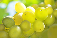 De Druif van de wijngaard stock fotografie