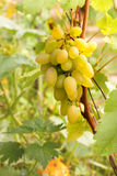 De druif van Shardonnay Royalty-vrije Stock Afbeeldingen