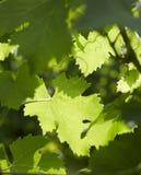 De druif verlaat 2 Royalty-vrije Stock Afbeelding