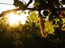 De druiven in de wijngaard stock foto's