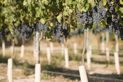 De Druiven die van de wijn in Wijngaard groeien Stock Afbeeldingen