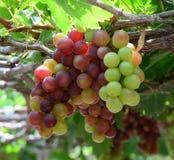 De druiven op de wijnstok in Phan belden, Vietnam Royalty-vrije Stock Afbeeldingen