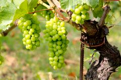 De druiven van Barolo Royalty-vrije Stock Foto's