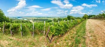 De druiven van Blauerportugeiser in wijngaard Royalty-vrije Stock Foto's