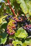 De Druiven van Champagne Stock Afbeeldingen