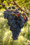 De Druiven van de chianti Royalty-vrije Stock Afbeeldingen