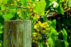 De Druiven van de muscateldruif Royalty-vrije Stock Foto