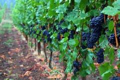 De Druiven van de Pinot Noir stock afbeeldingen