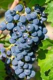 De druiven van de Pinot Noir Royalty-vrije Stock Afbeelding