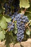 De Druiven van de rode Wijn Stock Afbeelding