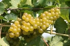 De Druiven van de wijn Royalty-vrije Stock Afbeelding
