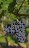 De druiven van de wijn Stock Afbeeldingen