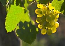 De druiven van de wijn Stock Afbeelding